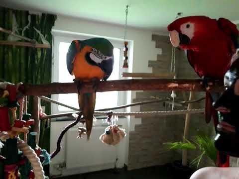 Reakcja Papug Na Czarną Maseczkę, Którą Miałam Na Twarzy 😂