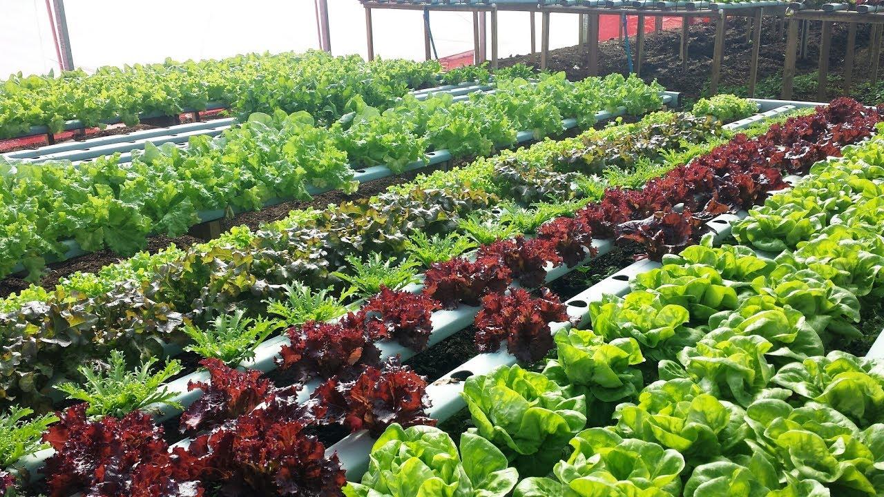 Cultivo de verduras organica dicas youtube for Cultivo de verduras en casa
