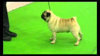 Thai Champion Pug Matthew Of St. Hubert The Real Pug