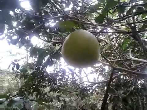 Balinese's orange fruits species in Bali (As big as basket ball size)