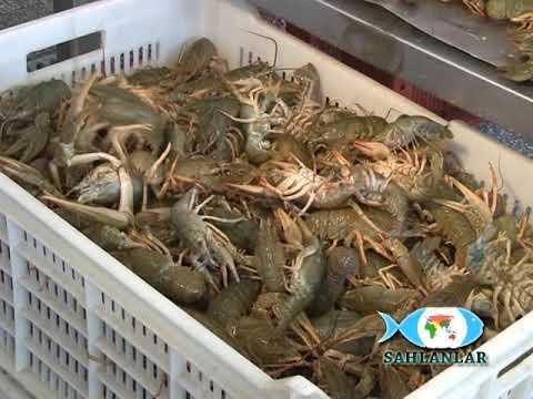 SAHLANLAR - Crayfish Processing