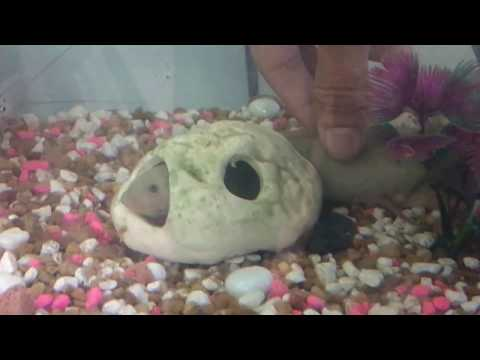 African Lungfish As Pet