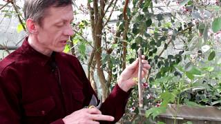 видео Выращивание инжира в домашних условиях