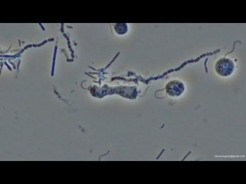 Division flagelado anaeróbico de agua marina en tiempo real  - marine water real time