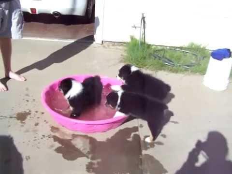 Australian Shepherd Puppies Playing in Water