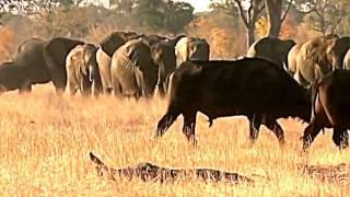 Дикая природа Африки-Львы хулиганы