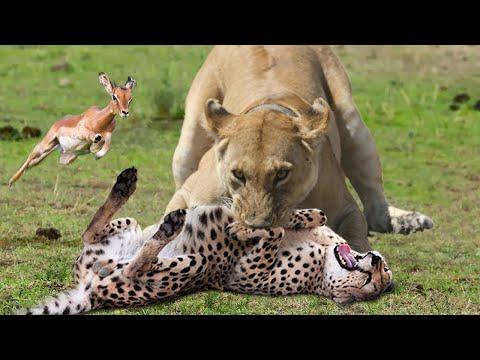 WORLD'S FASTEST ANIMALS FAIL   Lion Save Impala From Cheetah Hunting – Leopard Ambush Impala On Tree