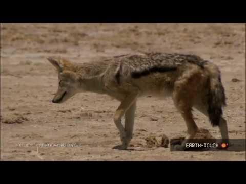 Wild animal - Jackal video
