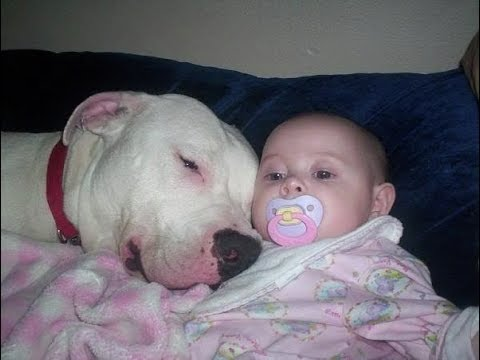 Pitbull Dogs Protecting kids COmpilation -  Dog Protects Baby Videos