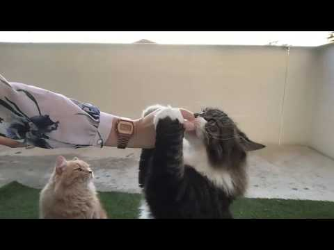 Live: Siberian cats enjoying balcony in the evening. Playing and cuddling included!