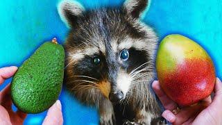 Авокадо или манго? Реакция енота Хайпа. Я такого не ожидал!!!!