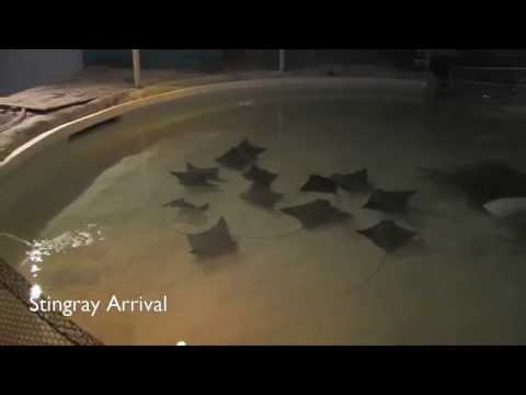 Welcome The Rays to Their New Home: Stingray Arrival