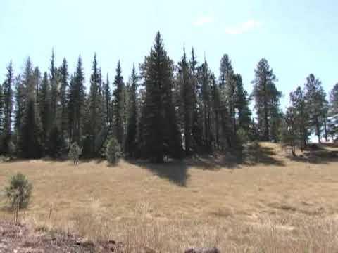 US Capitol Christmas Tree footage before harvest