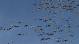 Habitat Flats - Snow Storm Snow Goose Hunting