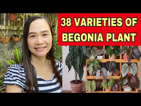 38 VARIETIES OF BEGONIA PLANT + IDENTIFICATION OF BEGONIA + BEGONIA PLANT #begonia #varieties