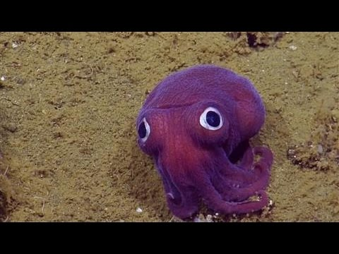 Scientists Spot 'Googly-Eyed' Stubby Squid
