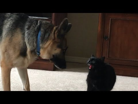 The Stare Down! 2 Dogs 1 Cat