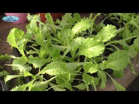 Как выращивать салат зимой.