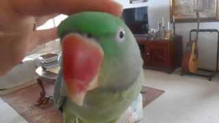 BONGO BILLY BOY THE CUTEST TALKING ALEXANDRINE PARROT