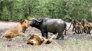 OPPORTUNITY OF LIONS WHEN A BUFFALO GETS STUCK IN MUD