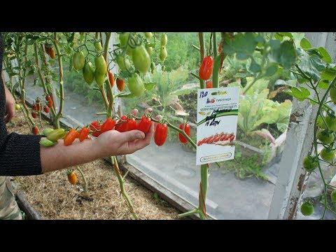 Самые сладкие томаты черри, дегустация