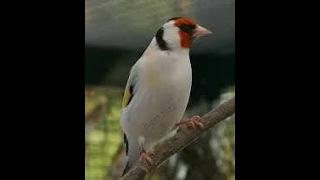 ловля щеглов.(cardellino pesca)طائر الحسون الصيد.