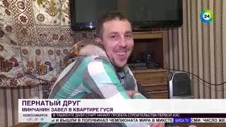 Звезда по имени Харви: белорусский блогер завел в квартире гуся и снимает про него сериал