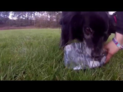 Cute collie and standard poodle chasing a bottle