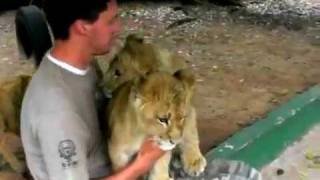 Lion cubs give Worker hugs and kisses on his last day! Must watch cute