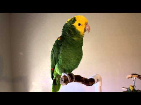 Chloe' ~Talking & Singing Double Yellow-head Amazon Parrot
