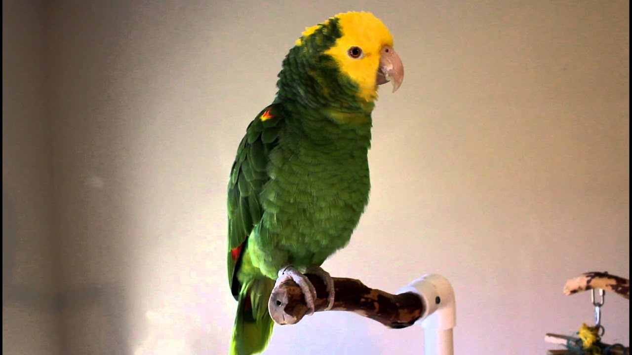chloe talking singing double yellow head amazon parrot youtube