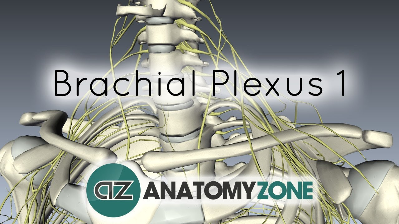 Brachial Plexus - Branches - 3D Anatomy Tutorial - YouTube