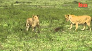 kristina.Lion Vs Mongoose Mongoose Fends Off Four Lions 1