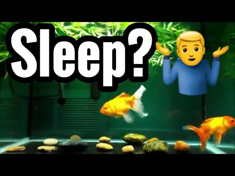 Do Goldfish Sleep? Pet Fish