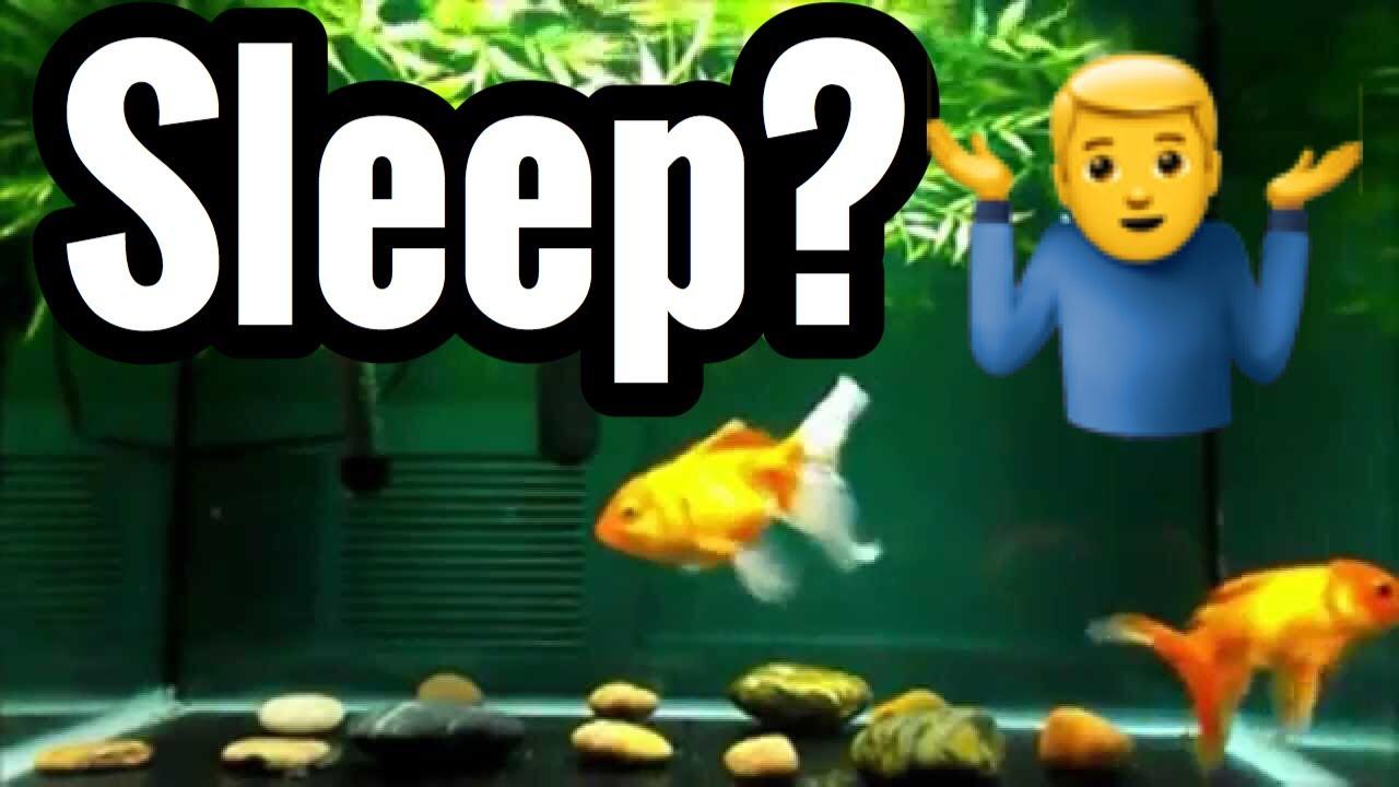 Do goldfish sleep pet fish youtube for How do fishes sleep
