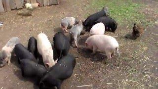 Свинобанда на выгуле,не стой на пути голодной свиньи.
