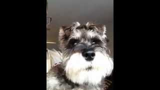 Miniature Schnauzer Cute Noises Pt2