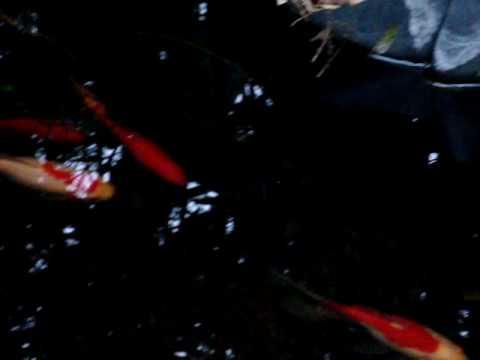 koi fish swoosh red white kohaku