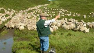 Working Bearded Collie Sheepdogs Driving One Thousand Sheep  Version 2