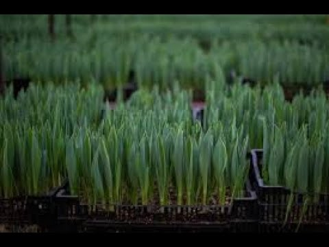 Выгонка тюльпанов к 8 марта 14 февраля 2020 Польза Фитоспирина  Бизнес на тюльпанах