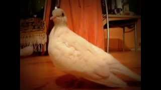 Dove / pigeon is making funny sounds