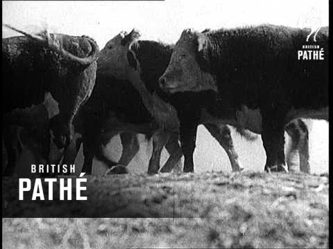 Idaho - Round Up Of Cattle For Market (1937)