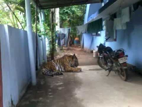Homely tiger