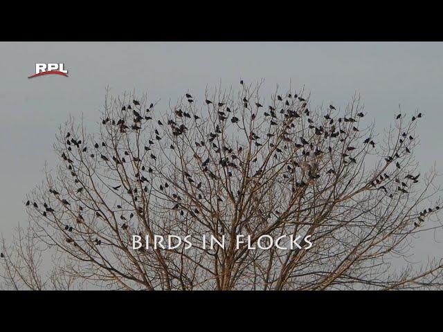 Natuur in de omgeving: Birds in flocks