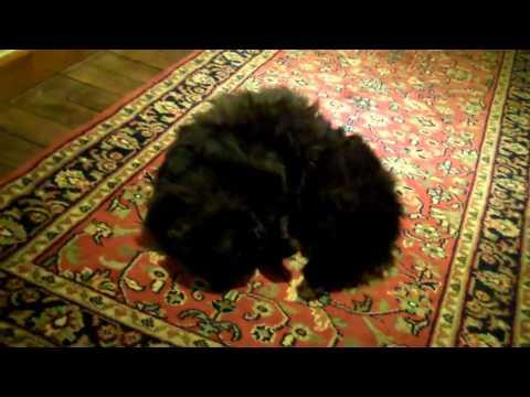 Persian cat rolling on oriental rug