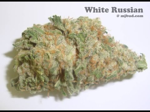 White Russian Strain Review