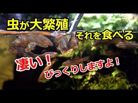 水槽に虫が大繁殖!その虫をお魚が食べる!【アクアリウム】