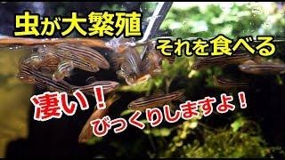 水槽に虫が大繁殖!その虫をお魚が食べる!【アクアリウム】 thumbnail