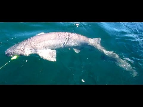 Cathcing Giant Shark While Halibut Fishing Strait of Juan de Fuca
