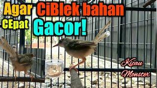 CARA Merawat Burung CIBLEK Bahan Supaya RAJIN BUNYI (Untuk Pemula)